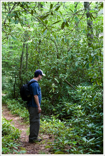 The rhododendron along this trail are jungle-thick