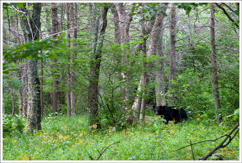 The bear as about 100 feet off the trailside.
