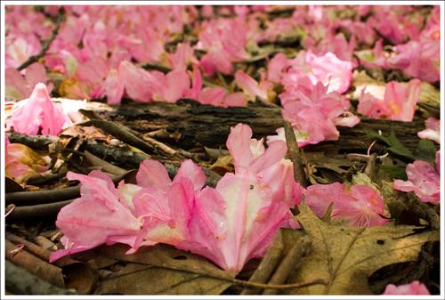 Wild Azalea flowers carpeted the forest floor.