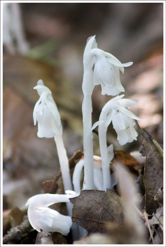Indian Pipes along the trail.