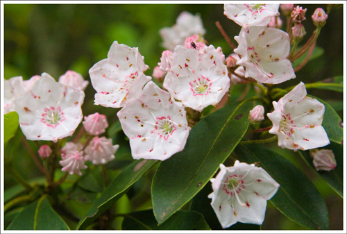 Although the hemlocks are gone, the trail is still lined by beautiful mountain laurel.