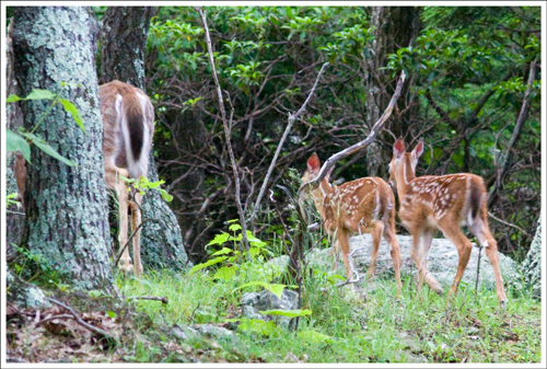 These twin fawns quickly disappeared into the woods.