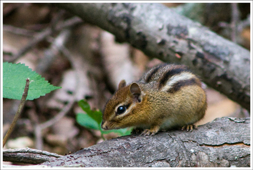 Along with the owl, lots of birds and several deer - we saw lots of chipmunks along the way.