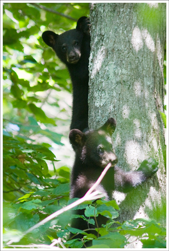 Cubs on the White Oak Canyon Trail.