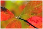 red foliage_1