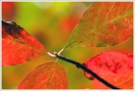 red foliage_1