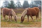 Pair of palomino ponies on Mt. Rogers