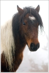 Mt. Rogers ponies have long beautiful manes