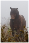 Grayson Highlands Pony in the Fog.