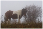 Grayson Highlands Pony in the Mist.