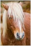 Pony Stallion on Mt. Rogers