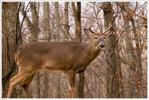 Buck in the rutting season.