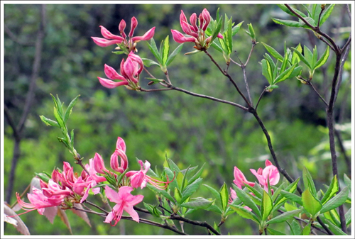 The rhododendrons and wild azaleas are starting to bloom.