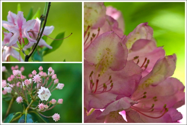 Wild Azaleas, Rhododendron and Mountain Laurel