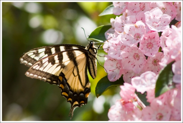 Butterfly on Mountain Laurel
