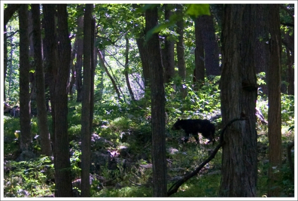 Bear on the Appalachian Trail