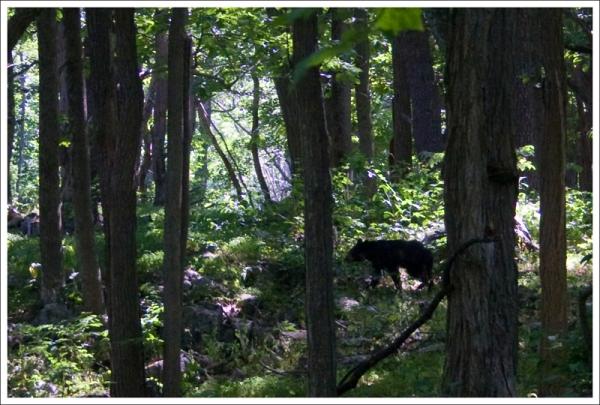 Bear on the Appalachian Trail