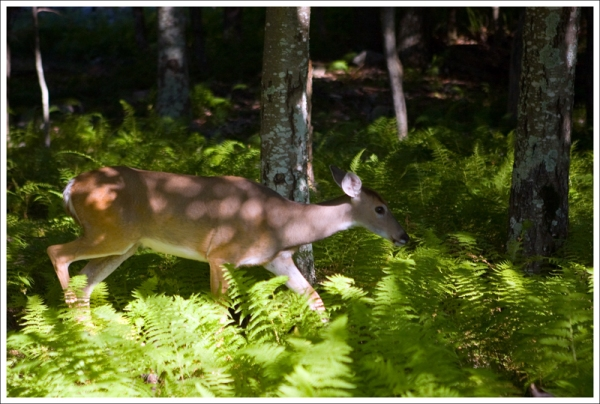 Dappled Light on a Doe
