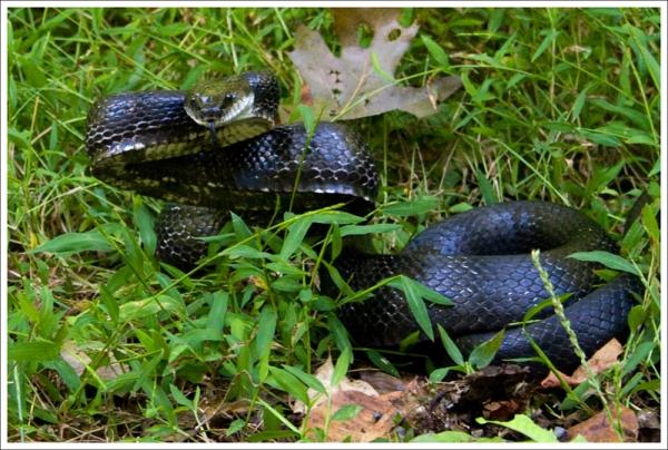 Huge Black Snake