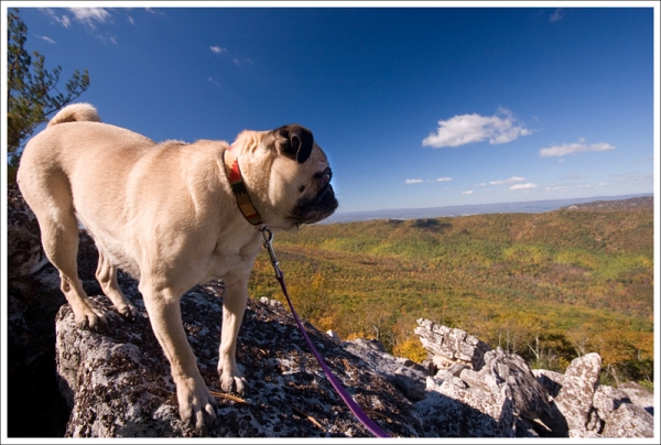 Wookie Enjoys the View from Duncan Knob