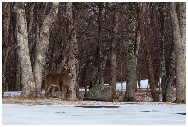 Big Meadows Buck