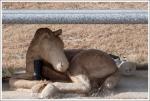 Horse Headstone
