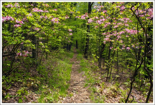 Native Azaleas Along the Trail