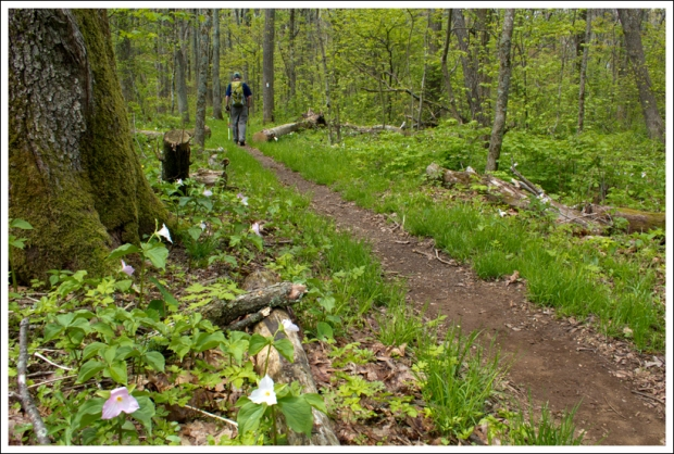 Blooming Trillium Along the Appalachian Trail