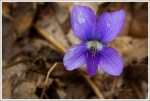 Wild Violet
