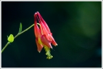 Blooming Columbine
