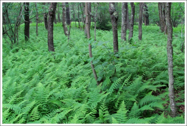 Sea of Ferns