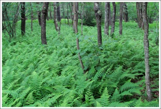 Sea of Ferns