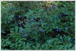 Abundant Blueberries