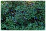 Abundant Blueberries