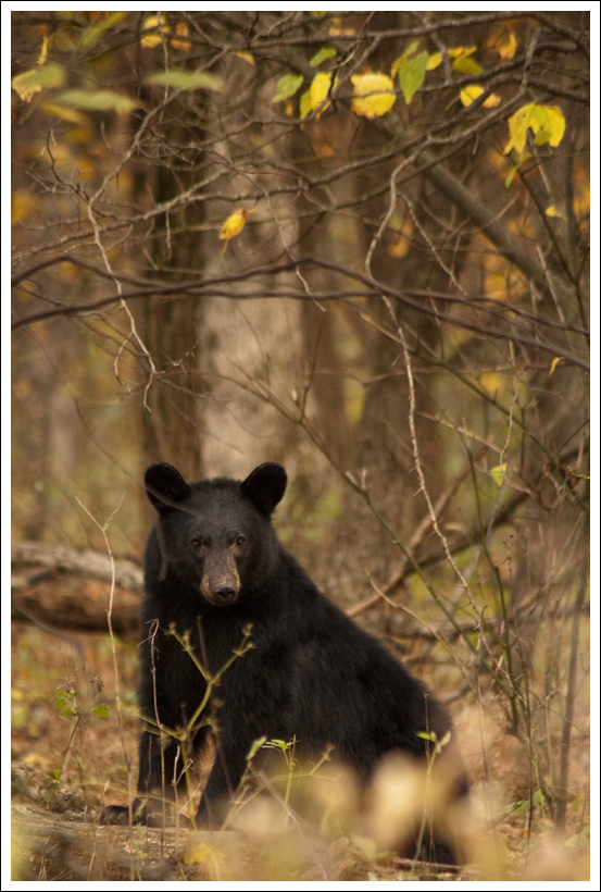 Fishers Gap Bear