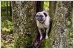 Pug in a Tree