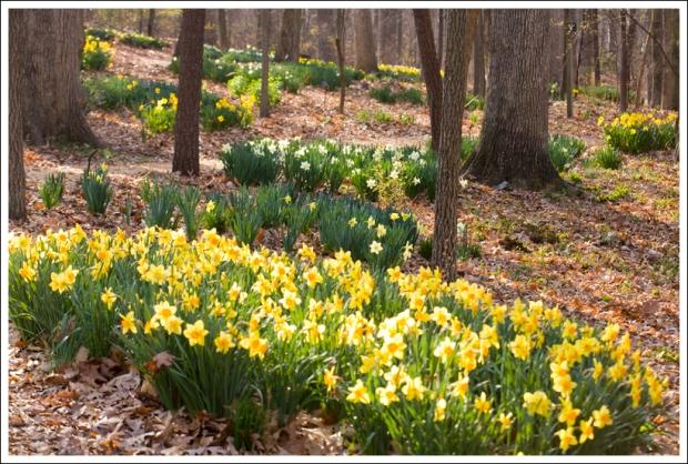Abundant Daffodils