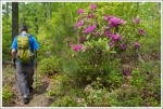Rhododendron on Gunter Ridge