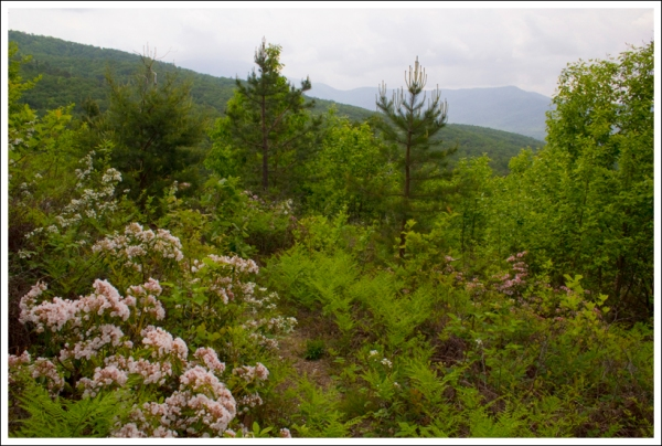 Beautiful Mountain Laurel