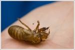 Gross Locust Husk