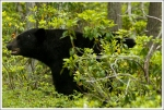Mated Pair of Black Bears - Boar