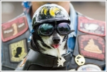Harley-Davidson Chihuahua