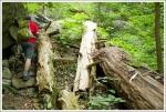 Fallen Hemlocks