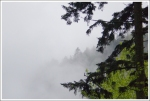 Fog and Firs