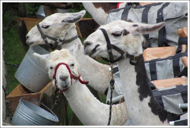 The LeConte Llamas
