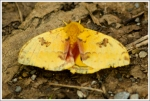 Yellow Moth in Shenandoah