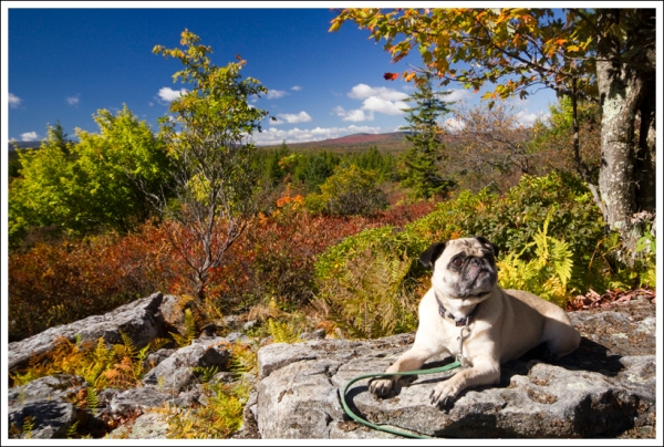 Wilderness Wookie Enjoys Dolly Sods