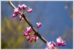 Redbuds Blooming
