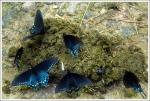 Butterflies on Manure