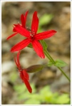 Scarlet Catchfly